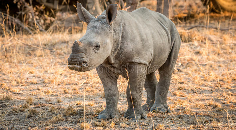 Starring baby White rhino. Starring baby White rhino in the Kruger National Park, South Africa royalty free stock photography