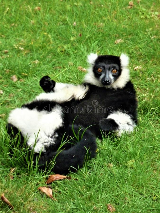 Starring Black And White Lemur Monkey. Totally relaxed and at ease, this black and white Lemur stares back at the viewing public royalty free stock photos