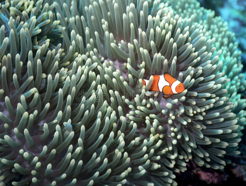 starscape clownfish стоковое фото rf