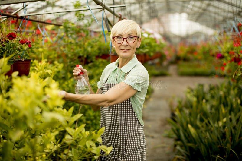 Starsza kobieta pracuje wewnątrz greengarden zdjęcia stock