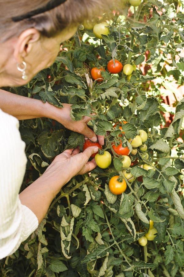 Starsza kobieta sprawdza pomidory w ogródzie obrazy stock