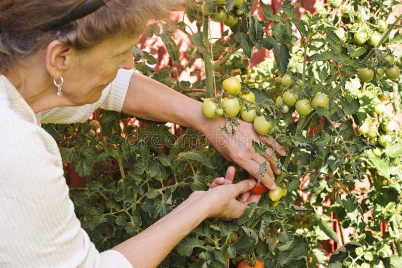 Starsza kobieta sprawdza pomidory w ogródzie fotografia stock