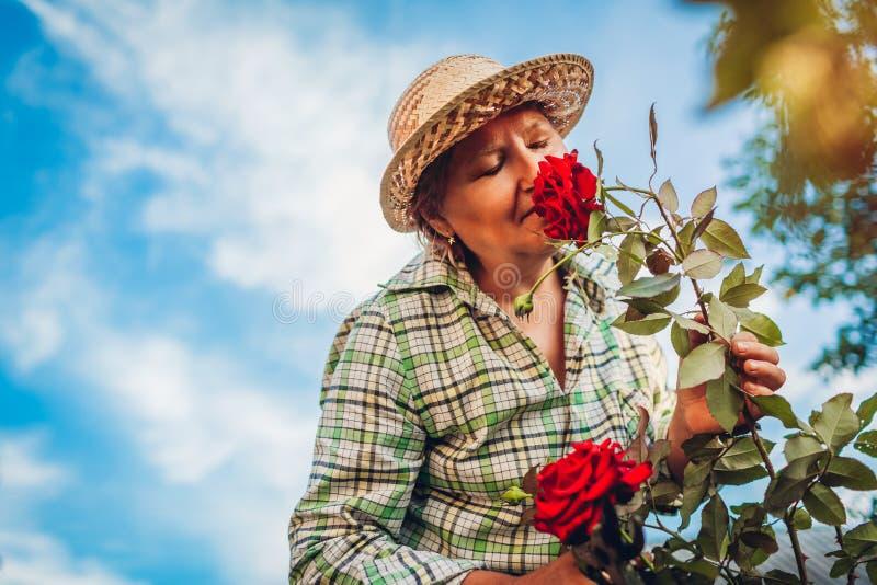 Starsza kobieta wącha kwiaty w ogródzie Starsze osoby przechodzić na emeryturę kobiety cieszy się hobby fotografia stock