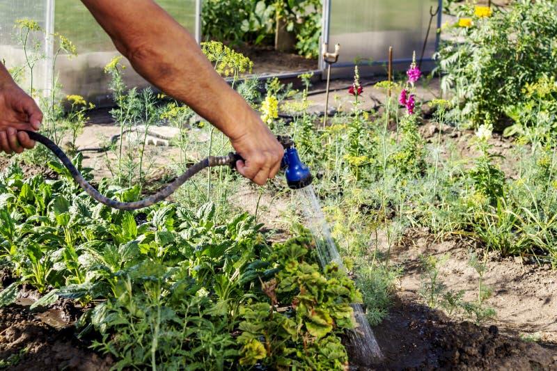 Starsza ogrodniczka nawadnia świeże rośliny w ogrodowym łóżku dla wzrostowego zwiększenia z prysznic podlewania pistoletem Organi zdjęcie royalty free