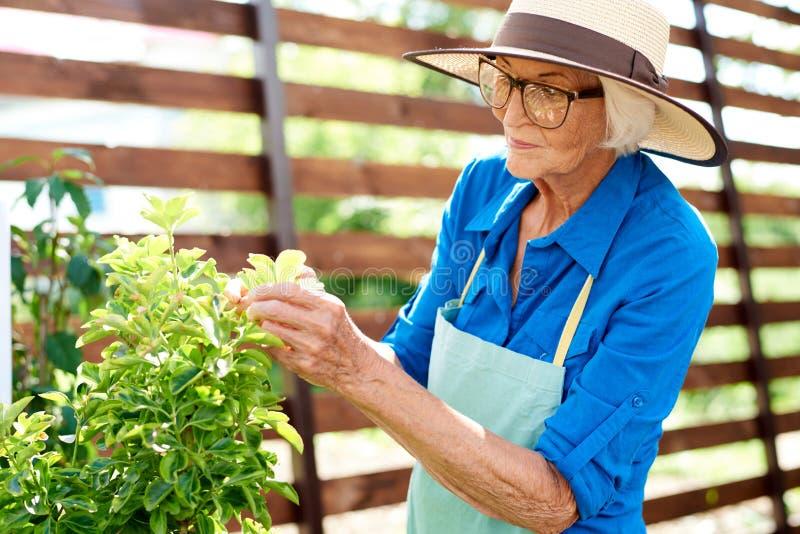 Starsza ogrodniczka Patrzeje rośliny fotografia royalty free