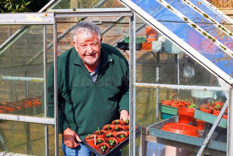 Starsza ogrodniczka w szklarni lub glasshouse obrazy royalty free