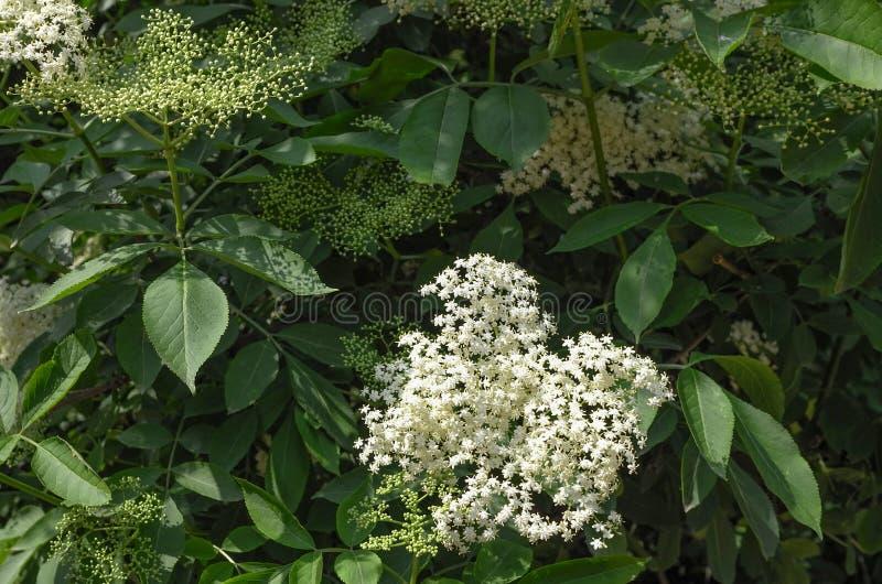 Starsza osoba, Elderberry lub Czarna starszej osoby kwiatono?na ro?lina starszej osoby lub Europejskiej Sambucus Adoxaceae rodzin fotografia royalty free