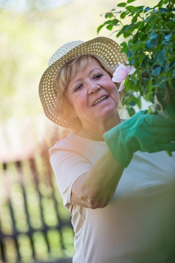 Starsze kobieta arymażu rośliny z przycinać strzyżenia zdjęcie royalty free