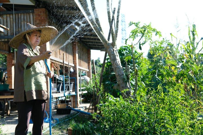 starszej starszej osoby kobiety starszej ogrodniczki podlewania średniorolna roślina w gar fotografia stock