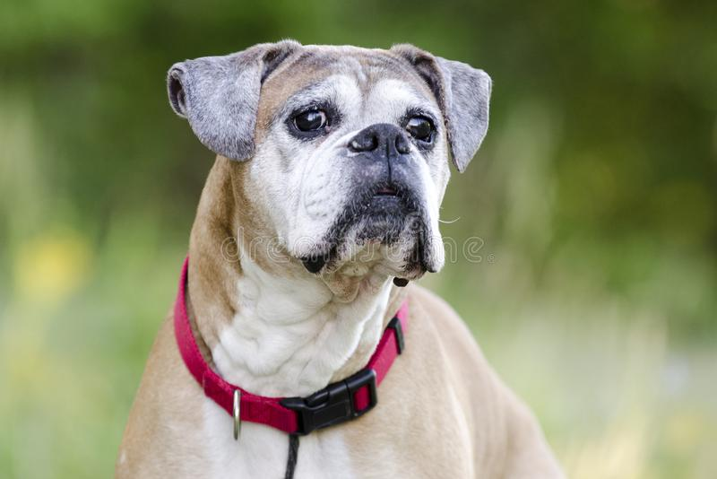 Starszy źrebię boksera pies, zwierzę domowe adopci ratownicza fotografia obrazy royalty free