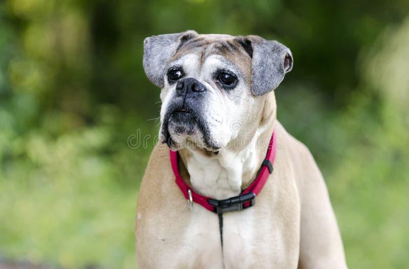 Starszy źrebię boksera pies, zwierzę domowe adopci ratownicza fotografia obraz royalty free