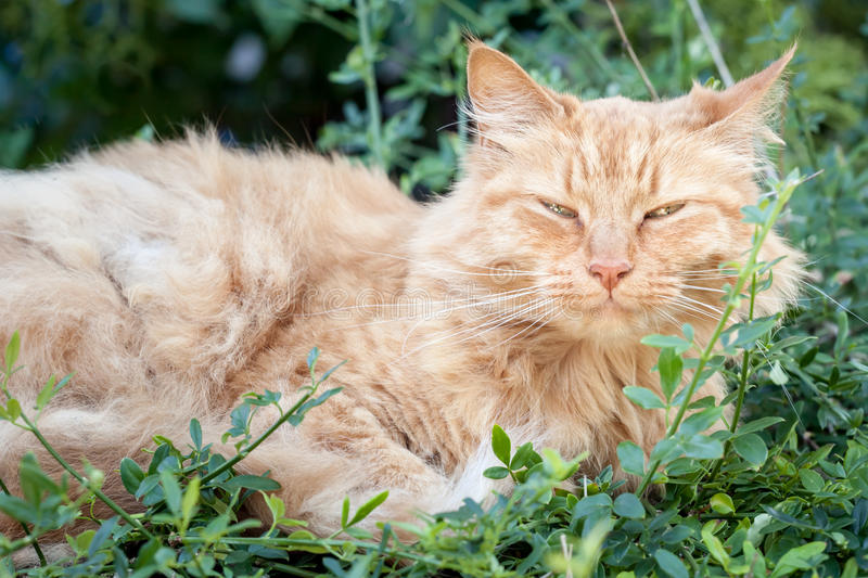Starszy Imbirowy Tabby kota Łgarski puszek Wśród Zielonych liści zdjęcia royalty free
