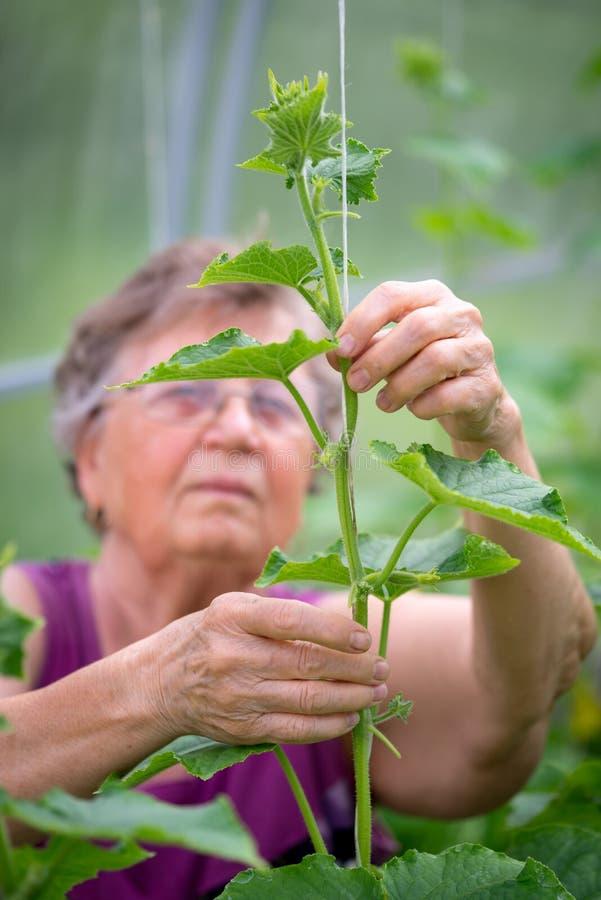 Starszy kobieta rolnik wiąże up ogórkowe rośliny obraz stock