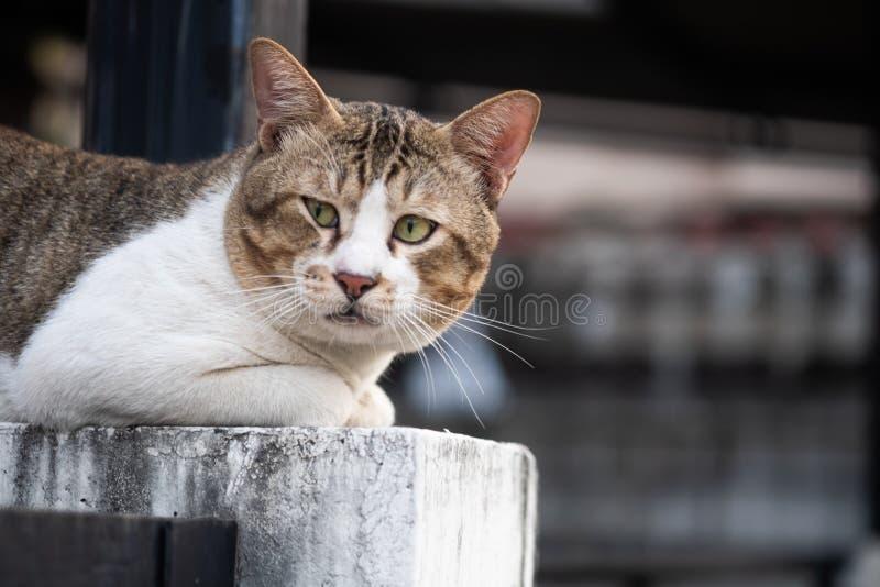Starszy kota obsiadanie i patrzeć kamerę zdjęcie stock