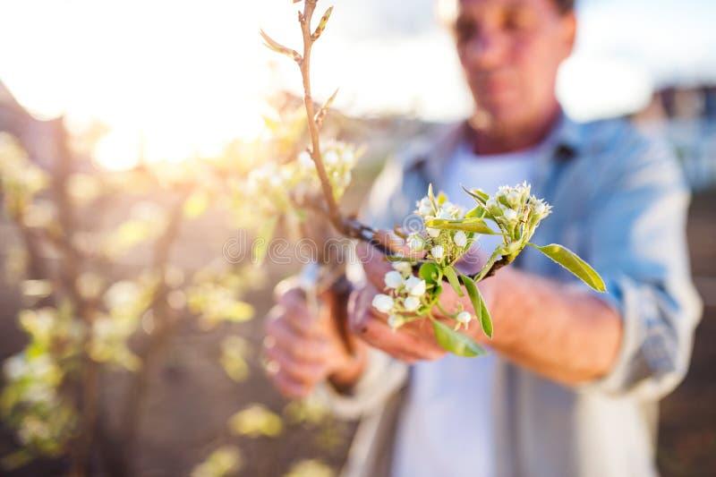 Starszy mężczyzna przycina jabłoni w pogodnym wiosna ogródzie zdjęcie royalty free