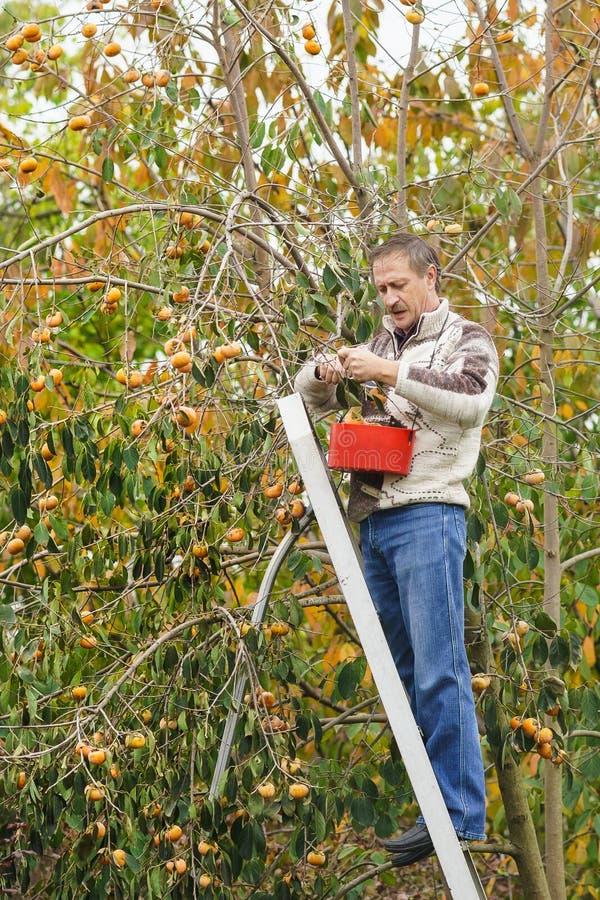 Starszy mężczyzna zbiera drewnianego persimmon zdjęcie royalty free