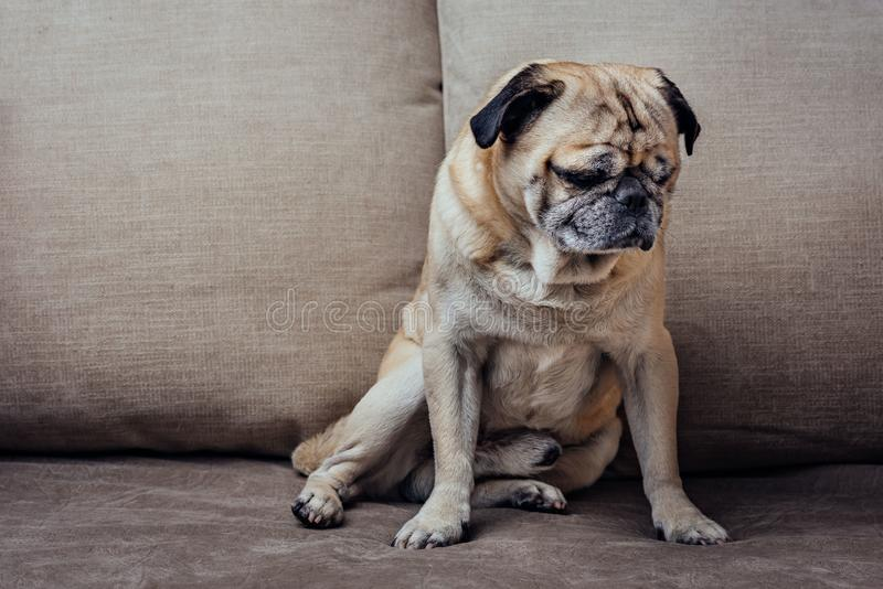 Starszy mopsa pies obrazy stock