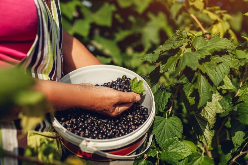 Starszy ogrodniczki mienia wiadro i garść blackcurrant w lecie uprawiamy ogródek Kobieta zbierająca uprawa jagody zdjęcia royalty free