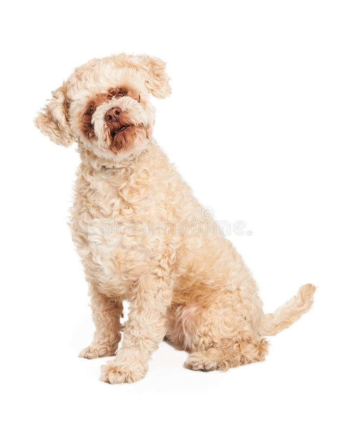 Starszy pudla psa obsiadanie zdjęcie royalty free