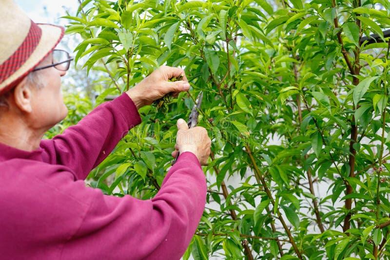 Starszy rolnik przycina drzewa w ogr?dzie outdoors z szk?ami zdjęcie royalty free
