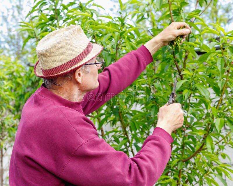 Starszy rolnik przycina drzewa w ogr?dzie outdoors z szk?ami fotografia royalty free