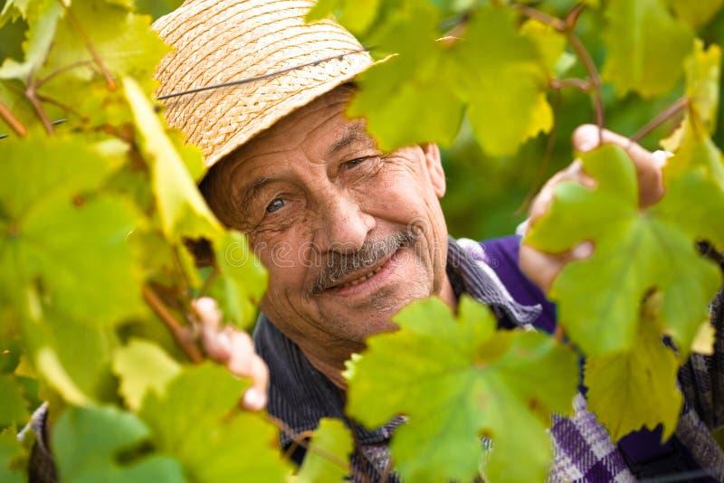 starszy vintner szczęśliwy obrazy stock