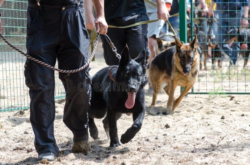 Starta utbildning hundkapplöpning på ett specialt område Herden med ägarna kommer inom på kopplarna arkivbild