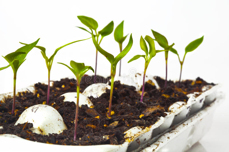 Starting Vegetables from Seeds. Healthy pepper seedlings in an egg crate, ready for spring planting. High key image with white background stock photography