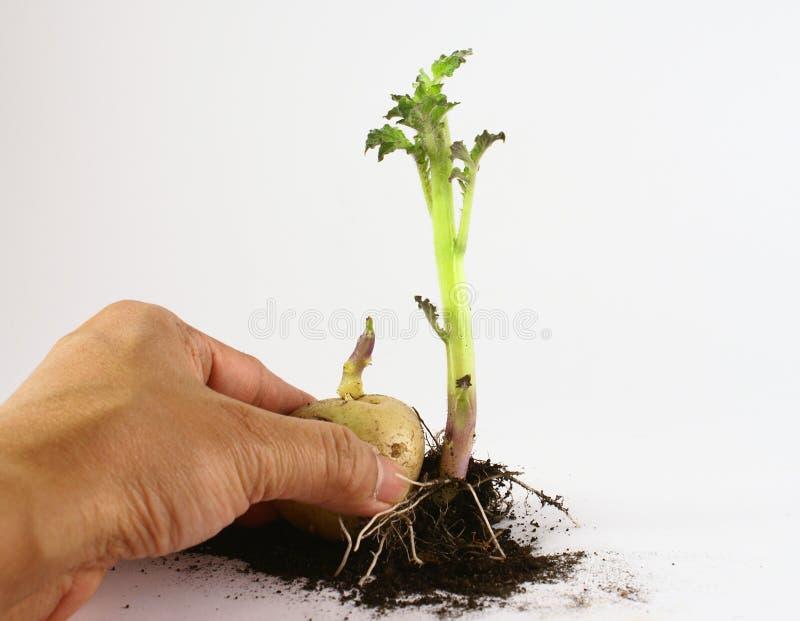 Startwerte für Zufallsgenerator, die Kartoffel anbauen stockbild