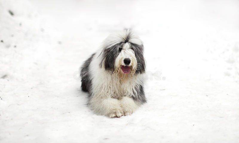 Stary angielski sheepdog lub bobtail obsiadanie na śniegu obraz royalty free