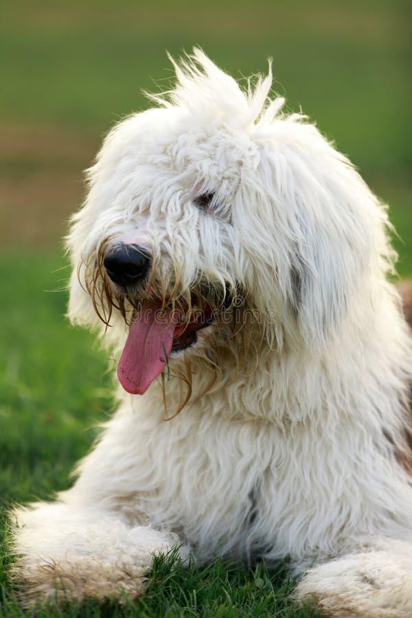 Stary Angielski Sheepdog zakończenie fotografia royalty free