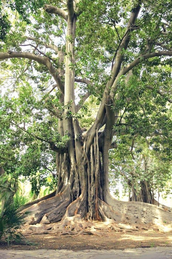 Stary antyczny duży drzewo z gęstymi korzeniami zdjęcia stock