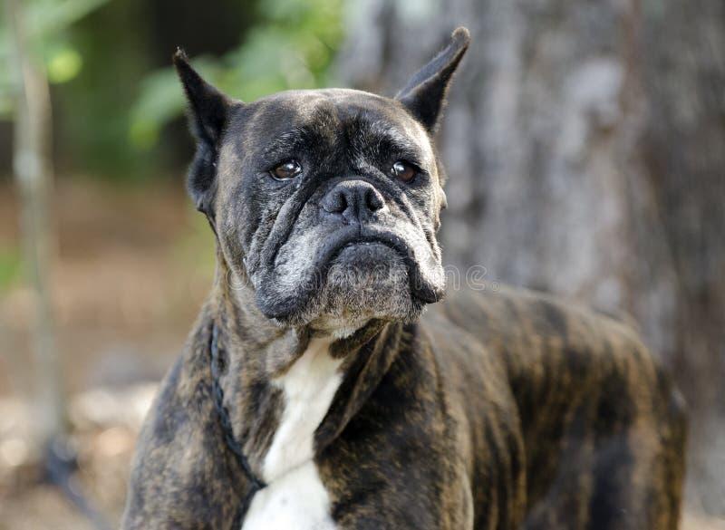Stary Brindle boksera pies z szarym kaganem zdjęcia stock