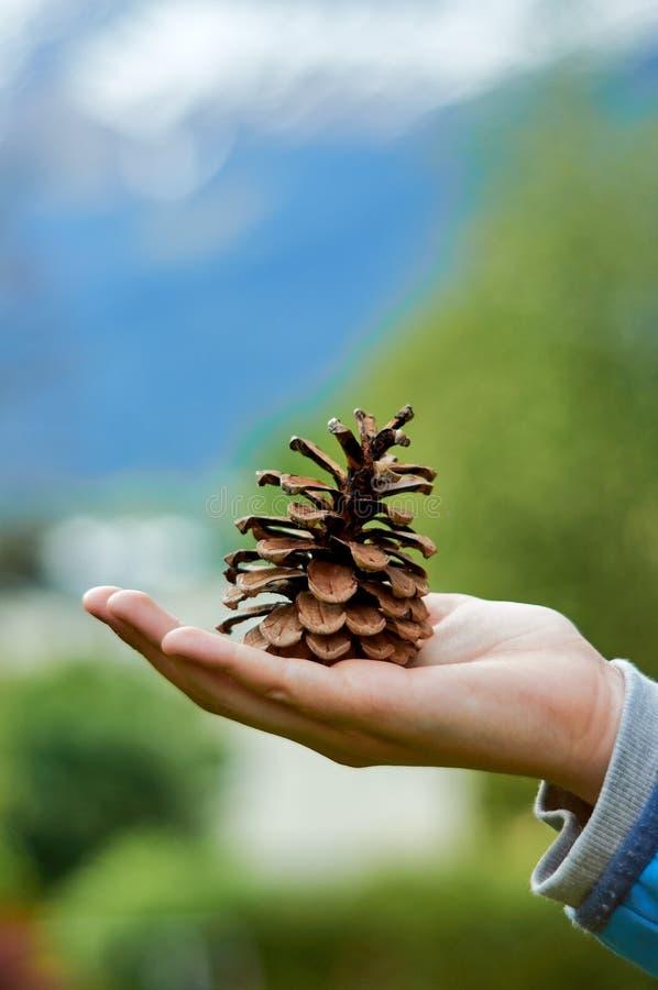 Stary brown pinecone strobile na ludzkiej ręce W tle unikalny śmietankowy bokeh od starego obiektywu zdjęcia royalty free