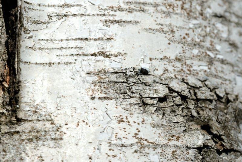 Stary brzozy drzewnej barkentyny tło i tekstura obraz stock