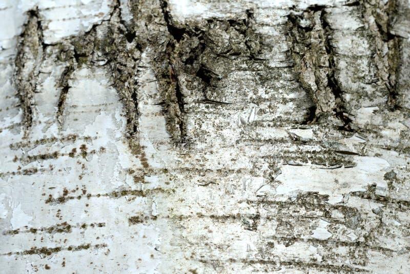 Stary brzozy drzewnej barkentyny tło i tekstura fotografia royalty free