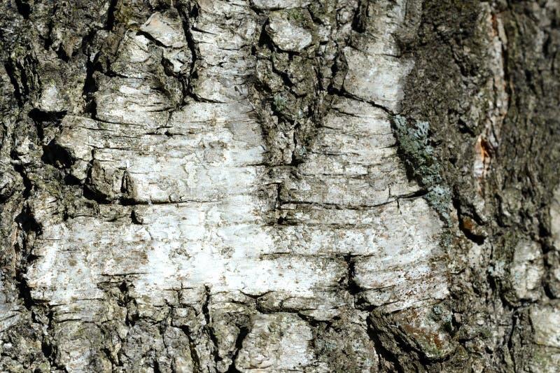Stary brzozy drzewnej barkentyny tło i tekstura obrazy royalty free
