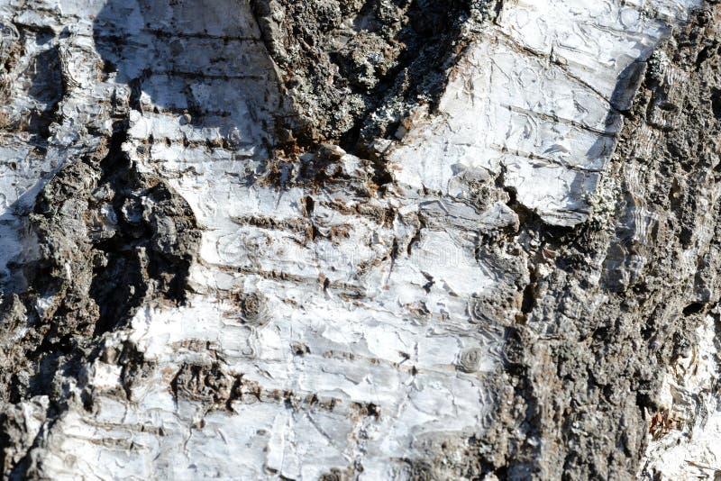Stary brzozy drzewnej barkentyny tło i tekstura zdjęcie stock