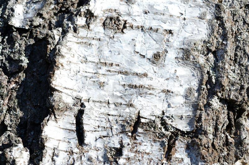 Stary brzozy drzewnej barkentyny tło i tekstura fotografia stock