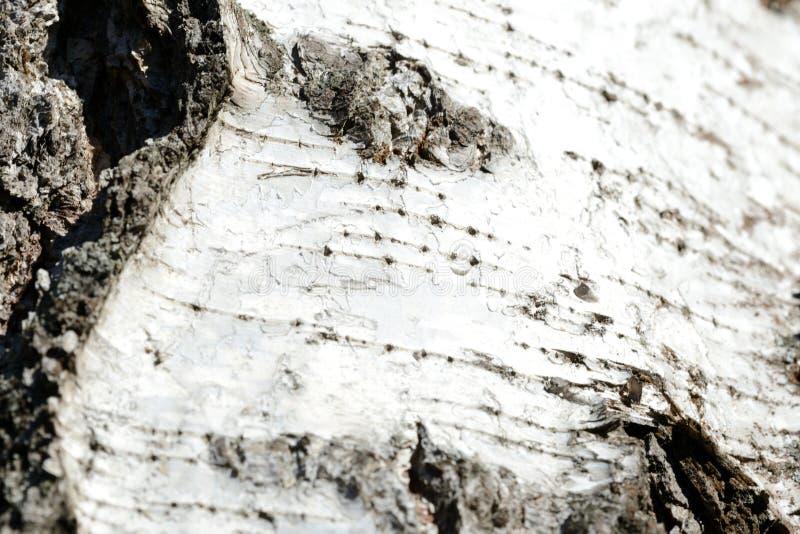 Stary brzozy drzewnej barkentyny tło i tekstura zdjęcia stock