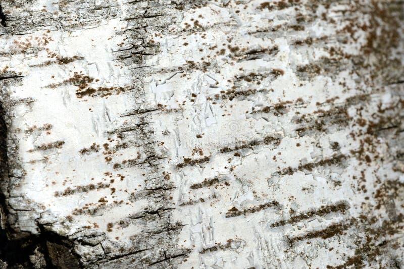 Stary brzozy drzewnej barkentyny tło i tekstura obraz royalty free