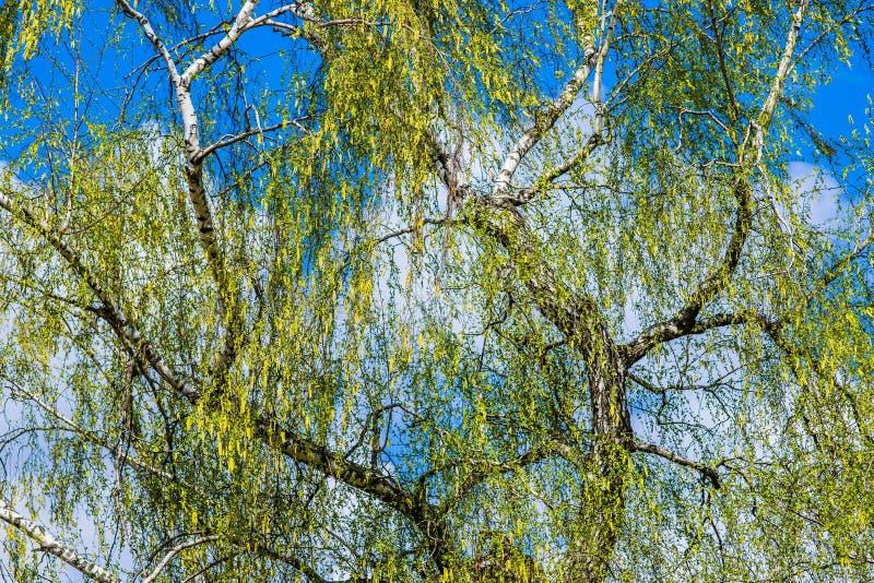 Stary brzozy drzewo w wiośnie obraz royalty free
