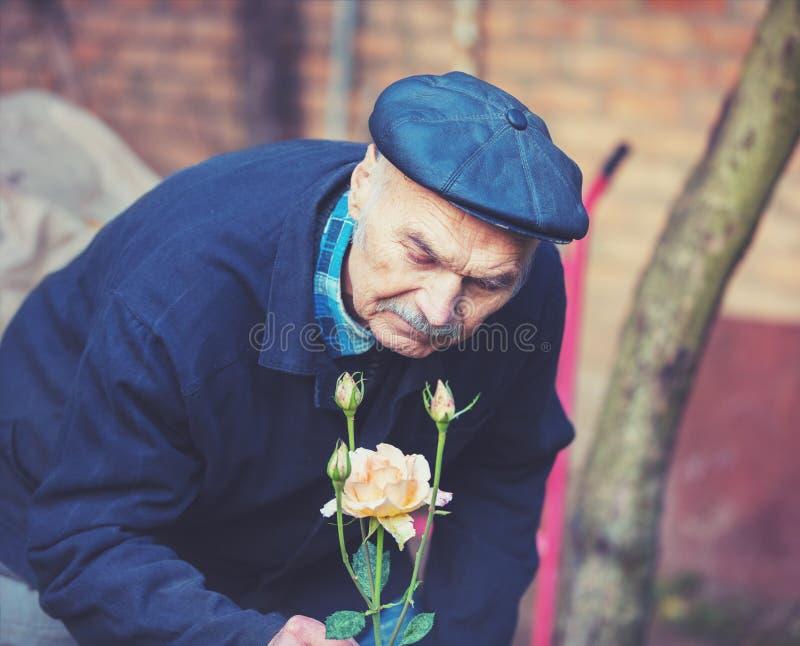 Stary człowiek kultywuje róże fotografia stock