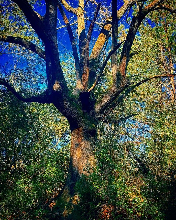 Stary czarownicy drzewo obraz royalty free