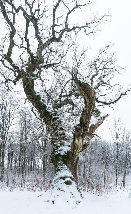 Stary dębowy drzewo w zimie zdjęcia royalty free