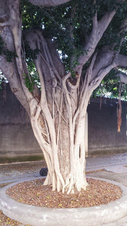 Stary Dębowy drzewo zdjęcie stock