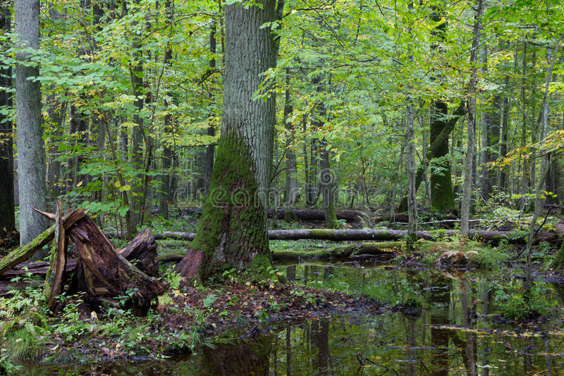 Stary dębowy drzewo i woda w spadku lesie obrazy royalty free