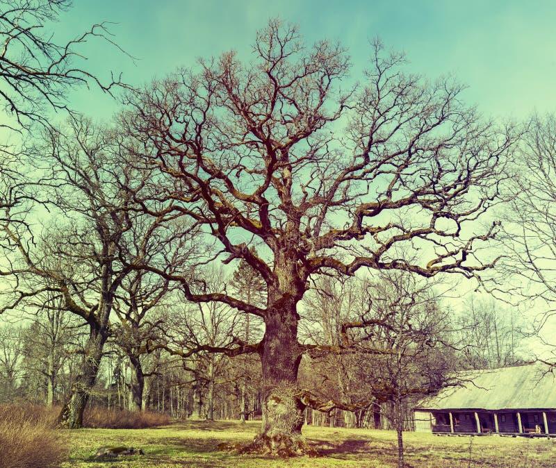 Stary dębowy drzewo w viciniy Ungermuizha rezydencja ziemska, Latvia obrazy royalty free