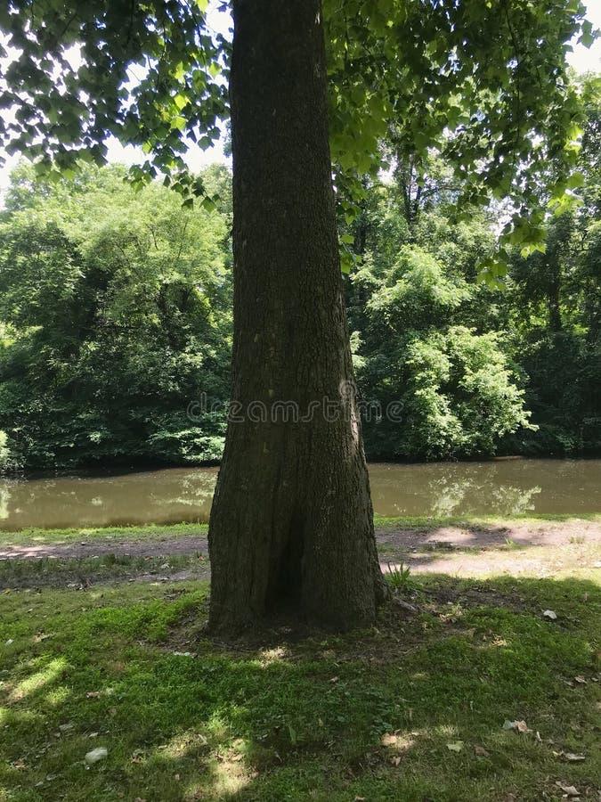 Stary Dębowy drzewo wodą obraz royalty free
