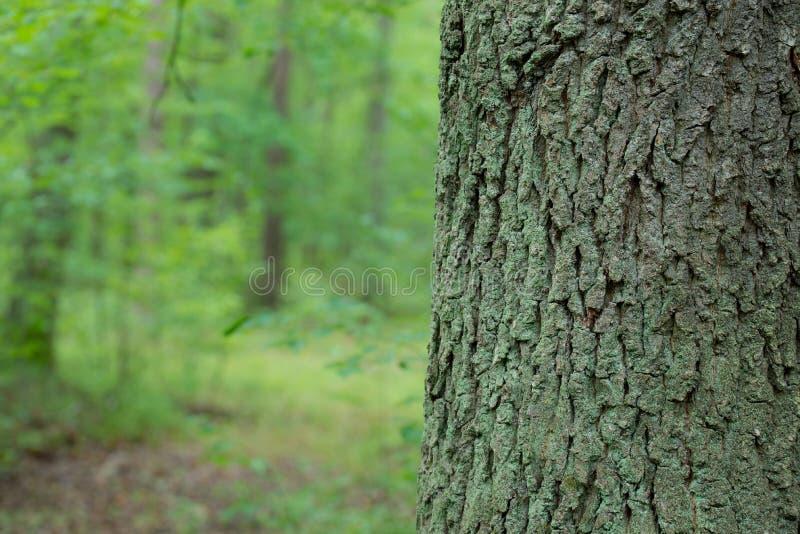 Stary d?bowy drzewny baga?nik w lesie fotografia stock